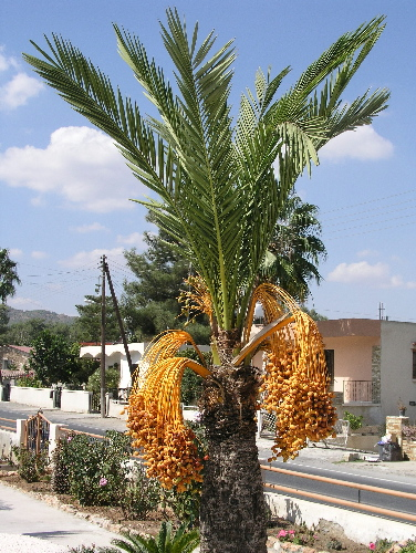 http://www.food-info.net/images/datepalm.jpg
